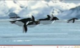 Watch penguins migrate
